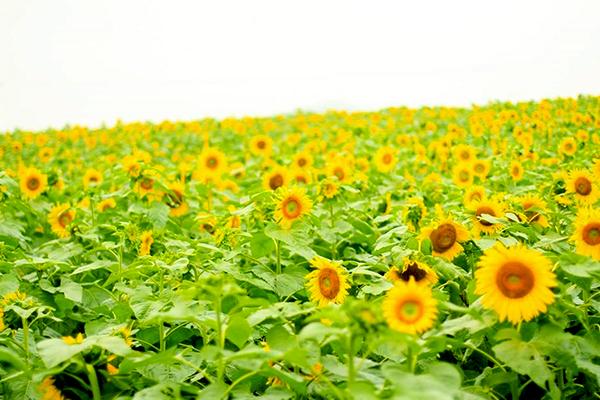 Mùa hoa hướng dương khoe sắc vàng rực